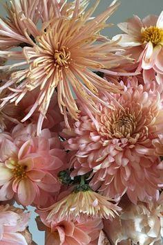 Fall's peachy blooms: dahlias and chrysanthemums