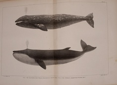 The marine mammals of the north-western coast of North America,.  New York,J.H. Carmany;1874..
