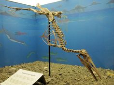 Hesperornis regalis- this specimen can be found at the Canadian Fossil Discovery Centre in Morden, Manitoba!