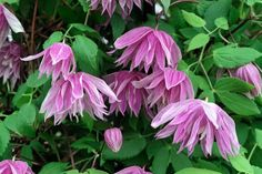 Credit: JS Sira/GAP Photos LOW WALLS Clematis that don't grow too vigorously and flower early in the season are ideal for . Sun Plants, Garden Plants, Plant Design, Garden Design, Dwarf Shrubs, Fire Pit Decor, Clematis Vine, Pergola With Roof, Most Beautiful Flowers