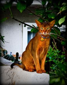 abyssinian cat | Luna, the Abyssinian Cat | Flickr - Photo Sharing!
