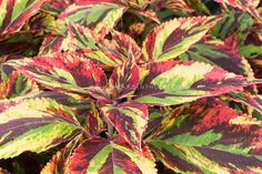 Coleus plants- leaves as pretty as flowers & they never fade. Care tips http://www.houseplant411.com/houseplant/coleus-how-to-grow-care-tips
