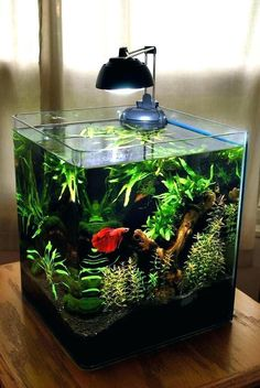 Some interesting betta fish facts. Betta fish are small fresh water fish that are part of the Osphronemidae family. Betta fish come in about 65 species too! Planted Aquarium, Aquarium Betta, Aquarium Terrarium, Betta Fish Tank, Nature Aquarium, Saltwater Aquarium, Freshwater Aquarium, Aquarium Stand, Planted Betta Tank