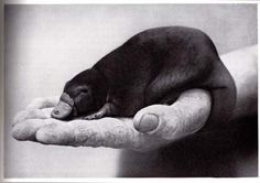 """A """"Puggle"""" (Baby Platypus) Baby Pictures, Animal Pictures, Baby Photos, Baby Platypus, Mundo Animal, Black White, Cute Creatures, Cute Baby Animals, Animal Kingdom"""