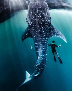 'Racing Extinction' Photographer Wants to Protect One of Most Diverse Marine Habitats in World — Will You Join Him? - One Green PlanetOne Green Planet Racing Extinction, Amazing Animals, Animals Beautiful, Beautiful Ocean, Voyage Philippines, The Animals, Beautiful Sea Creatures, Photo Animaliere, Wale