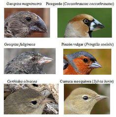 comparativa-entre-pinzones-de-darwin-y-aves-ibericas.jpg (396×401)