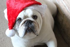 My dog marry Christmas!