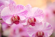 Purple and White Striped Orchid