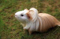 """Silky Guinea Pigs 