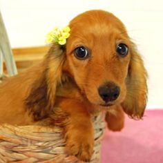 Miniature Dachshund Puppies More