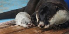 Mother Otter Keeps an Eye on Her Tiny Pup 4