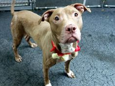 GONE 6-7-2015 --- TO BE DESTROYED 6/7/2015 Manhattan Center MINT JULIP – A1038574  FEMALE, BROWN, AMERICAN STAFF MIX, 3 yrs STRAY – STRAY WAIT, NO HOLD Reason STRAY Intake condition EXAM REQ Intake Date 06/03/2015