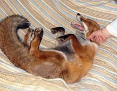 Domesticated foxes in Russia--the product of years of experimentation in selective breeding. I would love one!!
