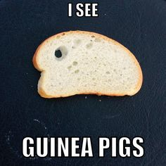 I see guinea pigs. all the time! Pig Illustration, Illustrations, Pet Guinea Pigs, Amelia, Diana, Brooklyn, Treats, Board, Funny
