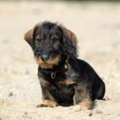 Wirehaired Dachshund - too cute!