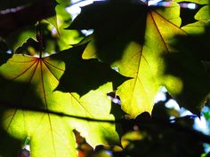 Summer Leaves