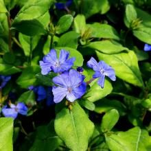 Dwarf Plumbago Edging Plants, Border Plants, Fast Growing Plants, Green Bedding, Shades Of Red, Dwarf, Green Leaves, Blue Flowers, Perennials