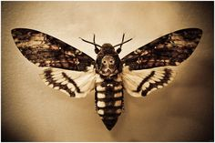 Acherontia atropos, or as it is more commonly known, the Death's Head Hawk moth. I love the tones in this photograph, and the skin-like texture of the ground.