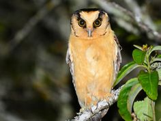 Buff-fronted Owl, South America Pinned by www.myowlbarn.com