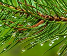 Pine essential Oil: Native Americans used pine needles in bedding to prevent bedbugs and lice.