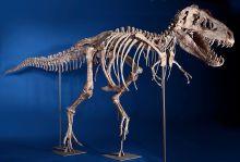 Dinosauria Cretaceous, SUPERB TYRANNOSAURUS SKELETON , auction Estimate: $950,000 - $1,500,000.