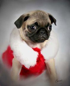 prit   a   pug | Santa Baby Pug Photograph by Bonnie Willis - Santa Baby Pug Fine Art ...