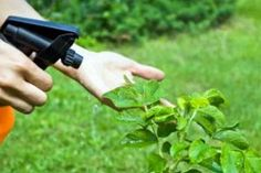 7 Natural Homemade Pesticides To Keep Garden Pests at Bay - The Self-Sufficient Living Natural Insecticide, Natural Pesticides, Organic Vegetables, Growing Vegetables, Garden Pests, Garden Tools, Jardim Natural, Organic Fertilizer, Vegetables Garden