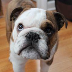 Cute English Bulldog Puppies on Instagram #englishbulldog #bulldog