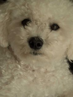 this is our Bichon Frise girl :-)