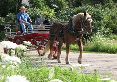 Horses For Sale - Spur Acres, Oberlander draft horses