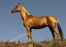 De Achal Teke, één van de oudste paardenrassen ter wereld - Plazilla.com