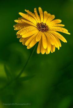yellow beauty, yellow gerberas, yellow flowers.