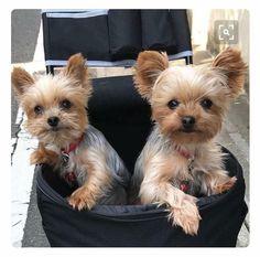The many things I admire about the Affectionate Yorkshire Terrier Puppies Die vielen Dinge, die ich an den liebevollen Yorkshire Terrier-Welpen bewundere Yorky Terrier, Yorshire Terrier, Bull Terriers, Yorkies, Yorkie Puppy, Baby Yorkie, Chien Yorkshire Terrier, Cute Puppies, Dogs And Puppies