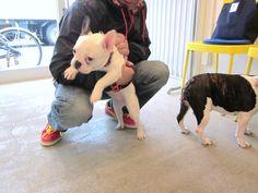 Ms.Nico, the French Bulldog Puppy