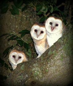 Beautiful Barn owl babies ❤