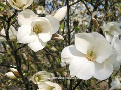 Magnolia kobus 'Janaki Ammal' - Sierboom - Hortus Conclusus  - 1