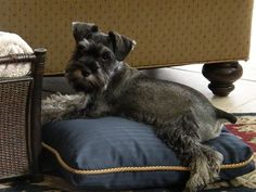 This is Princess Misty a super darling little mini Schnauzer , aww Look at just how adorable she is