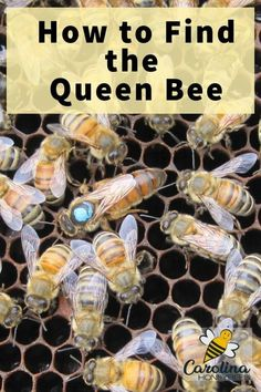 How to find the queen bee in your hive in record time. Finding the queen quickly is a skill that developes over time for most beekeepers. These tips will help you begin to develop your queen locating talent. Beekeeping For Beginners, Raising Bees, Bee Boxes, Bee Farm, Bees Knees, Bee Keeping, Queen Bees, Candle Making, Inventions