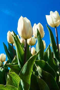 White tulips field near Amsterdam