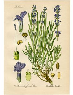 Vintage European Lavender Botanical Print - The Graphics Fairy. Such a lovely Free Printable to use for some Instant Wall Decor!