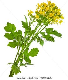 mustard blooming plant brassica nigra isolated on white background
