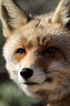 Spanish Red Fox, Vulpes vulpes   The Spanish Fox appears to …   Flickr