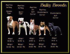"""American Bulldog: Johnson Type (classic type) American Bulldog: Scott Type (standard/ performance type) American Pit Bull Terrier American Staffordshire Terrier Staffordshire Bull Terrier Here's an example of a wonderful Staffordshire Bull Terrier mix """"Lady"""" - one of our fave site alums! This little dumpling looks like the dog above - and is amazing with kids,…"""