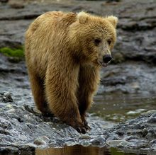 Brown Bear & Salmon Cam