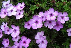 Phlox ´Miriam´ Garden, Plants, Lawn And Garden, Gardens, Plant, Outdoor, Home Landscaping, Tuin, Planting