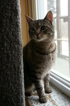Meet+Stripes,+a+Petfinder+adoptable+Domestic+Short+Hair+Cat+|+Greensburg,+PA+|+Petfinder.com+is+the+world's+largest+database+of+adoptable+pets+and+pet+care+information....