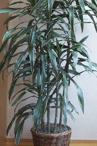 dracaena-deremensis