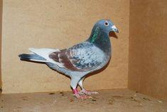 Racing Pigeons, Mosaic, Bird, Color, Pigeon, Animaux, Mosaics, Birds, Colour