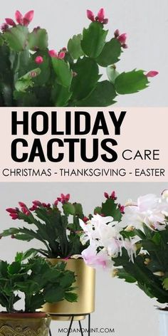 Houseplant Pin! All you need to know how to care for your holiday cactus. How to grow your Christmas Cactus, Thanksgiving Cactus or Easter Cactus. They all need similar care. Find out how to get it to bloom, when to water, how to prune and propagate. Plus get fixes to all common Holiday Cactus problems. Let's talk Plants! #gardening #houseplants #indoorplants #modandmint Christmas Cactus Plant, Easter Cactus, Indoor Cactus Plants, Outdoor Plants, Cactus House Plants, Indoor Flowers, Tropical Plants, Funny Animal Pictures, Vegetable Gardening