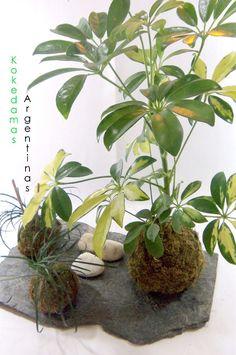 kokedama-de-aralia-plantas-en-musgo-kokedamas-argentinas-D_NQ_NP_13561-MLA3264767930_102012-F.jpg (797×1200)